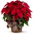 Kerstster met pot